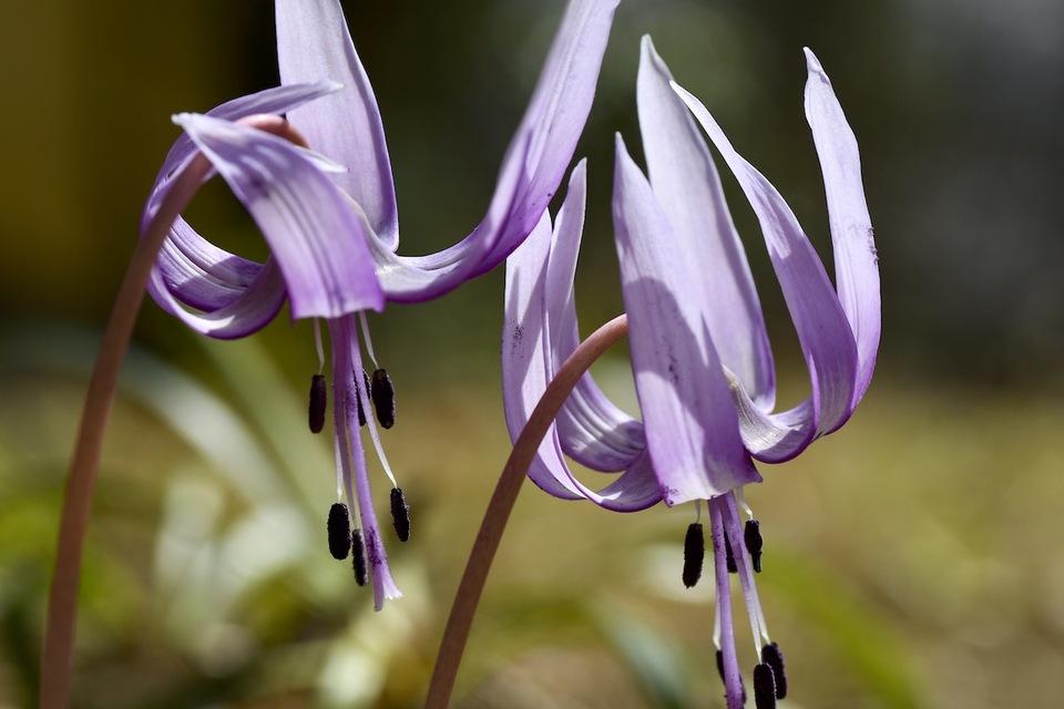 夜がらす山荘長多喜に春の妖精カタクリ咲いた、