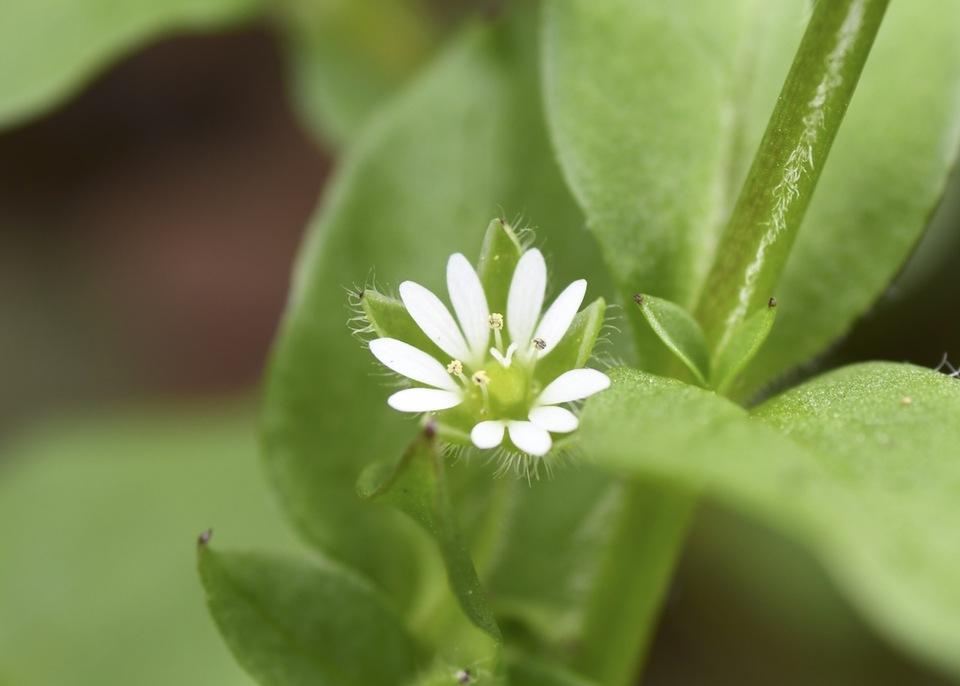 清楚な明るい緑色、春の七草ハコベは漢字で蘩蔞。
