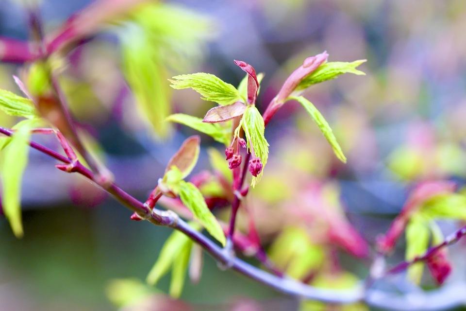 夜がらす山荘長多喜のイロハ紅葉の緑の新葉と赤い花芽