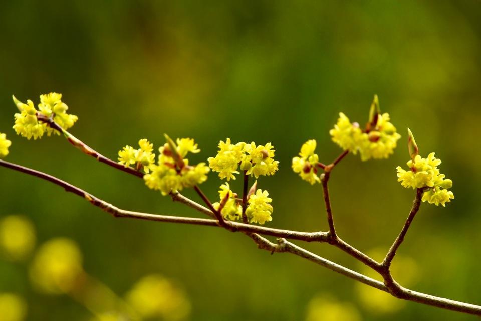 これは花はクロモジか?シロモジ?