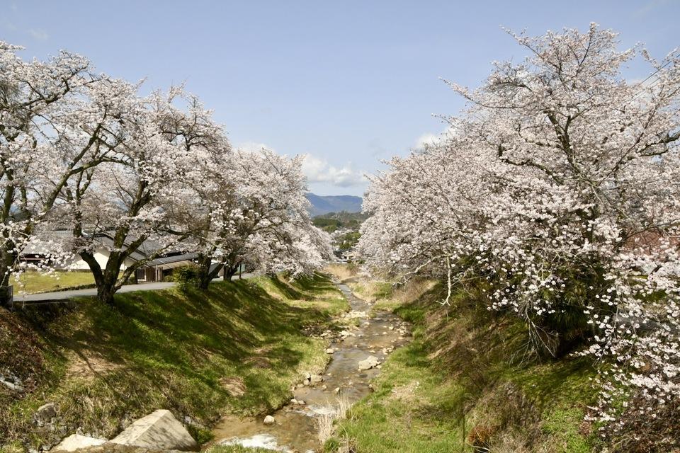 中山道中津川宿四ッ目川桜が満開です。 border=