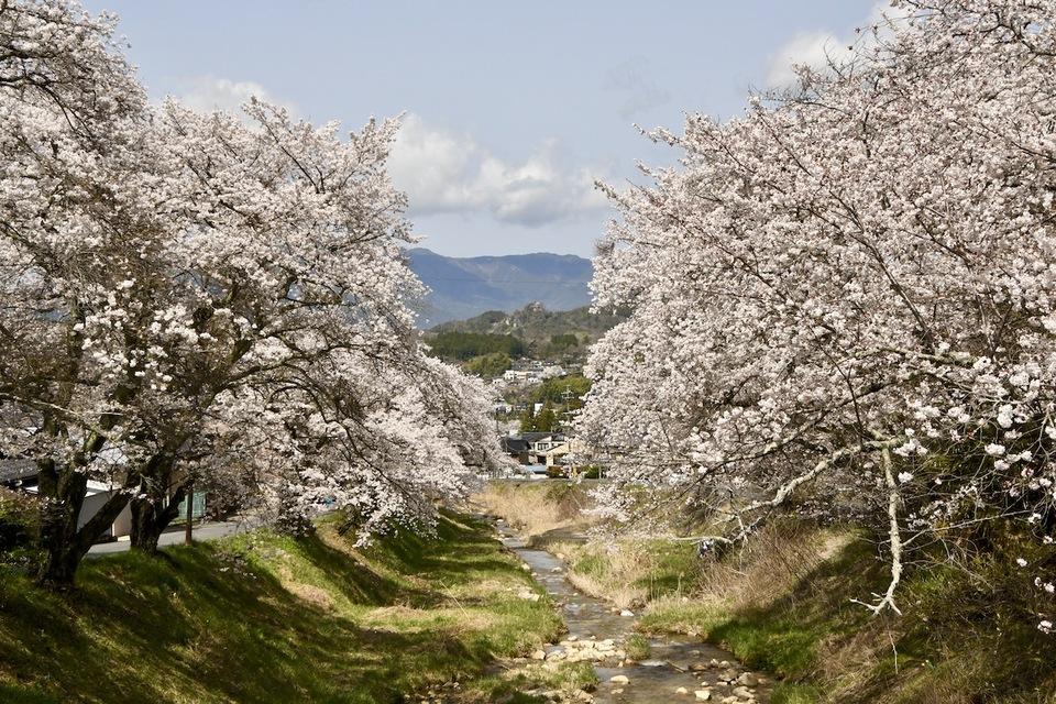 中山道中津川宿四ッ目川桜が満開です。