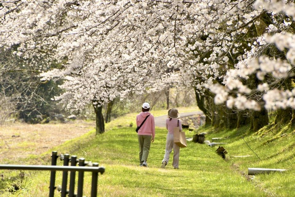 中山道落合宿、落合中学の桜並木が満開。霞む百名山恵那山と桜並木の風景。