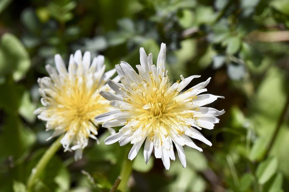白花タンポポ今年も咲きました、夜がらす山荘長多喜。 border=