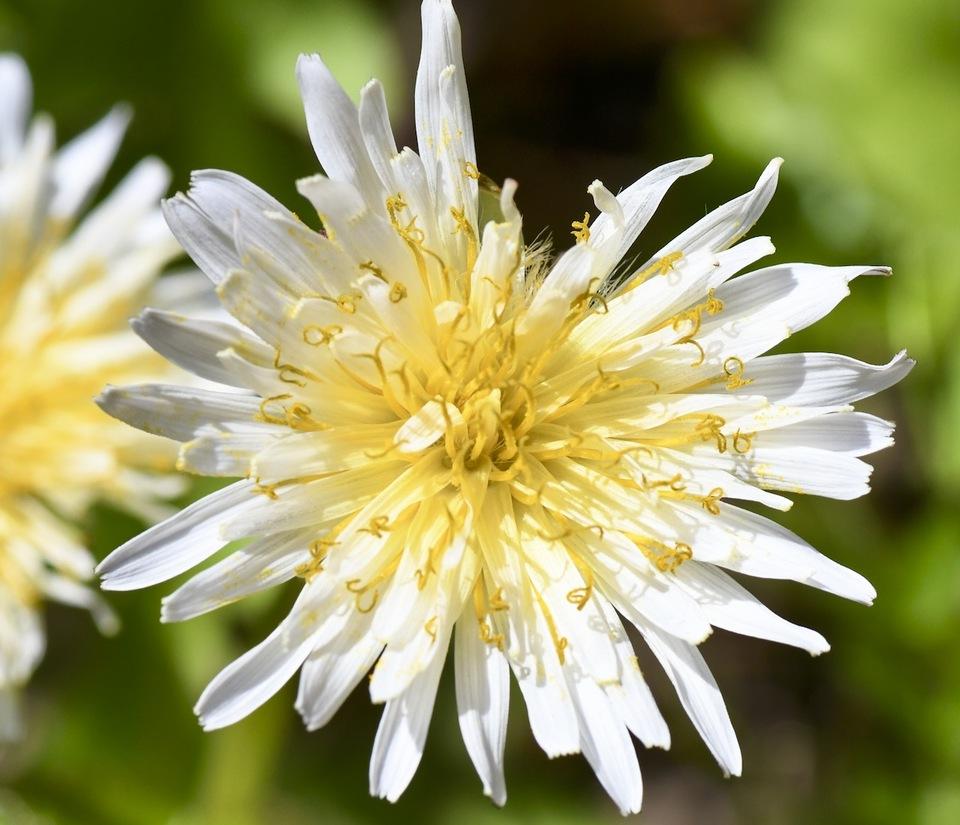 白花タンポポ今年も咲きました、夜がらす山荘長多喜。