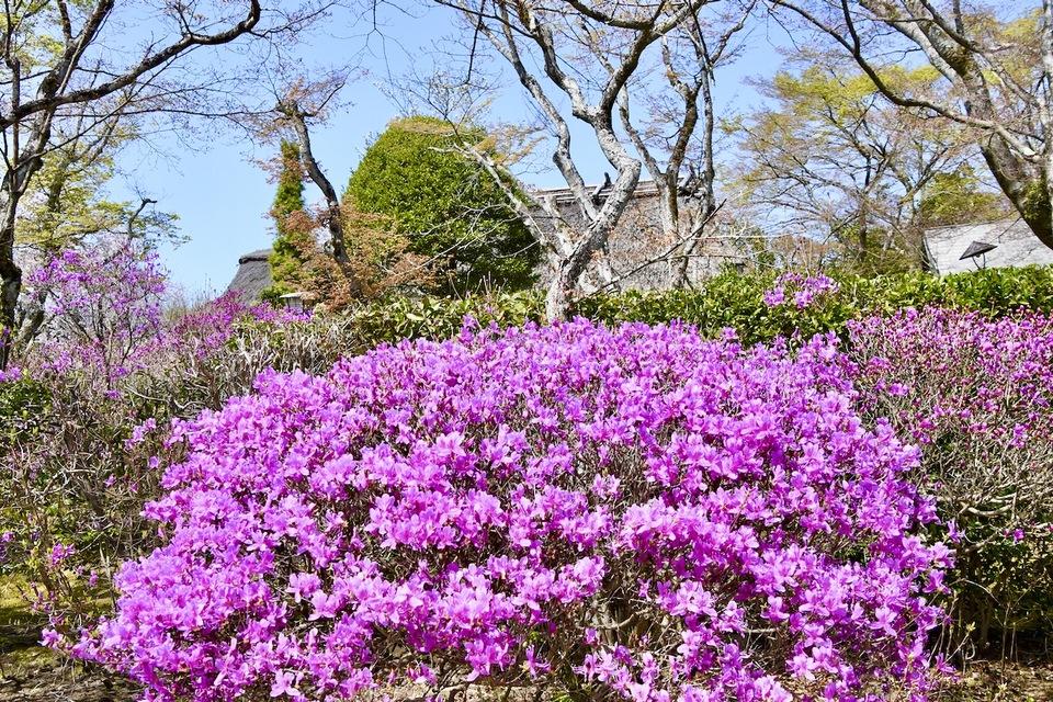 桜の次は躑躅、夜がらす山荘 長多喜の春。