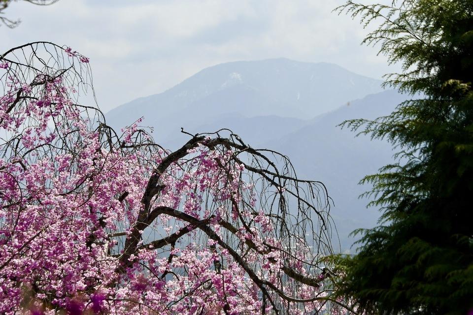 霞恵那山と枝垂れ桜と三つ葉ツツジ、