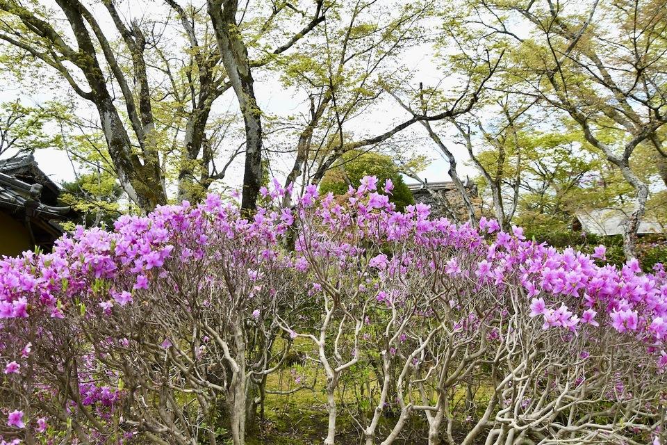 夜がらす山荘 長多喜の中庭が桜が散る中、躑躅色に染まり始めました。 border=