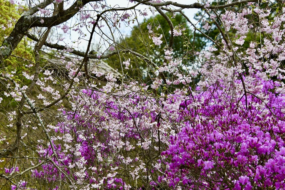 夜がらす山荘 長多喜の中庭が桜が散る中、躑躅色に染まり始めました。