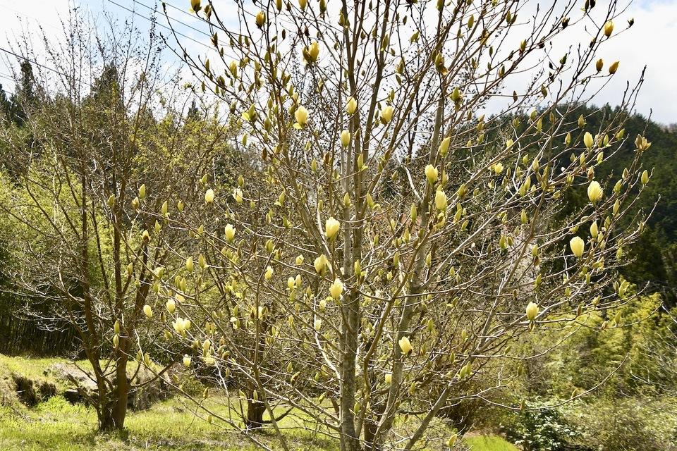 黄花木蓮は初見です。
