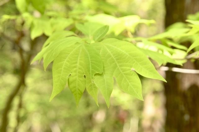 目に染みる青葉若葉はシロモジ(白文字)のユニークな葉の形