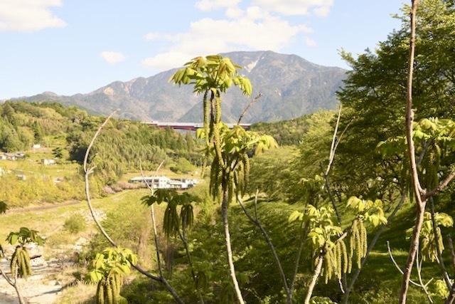 オニグルミの花穂と恵那山