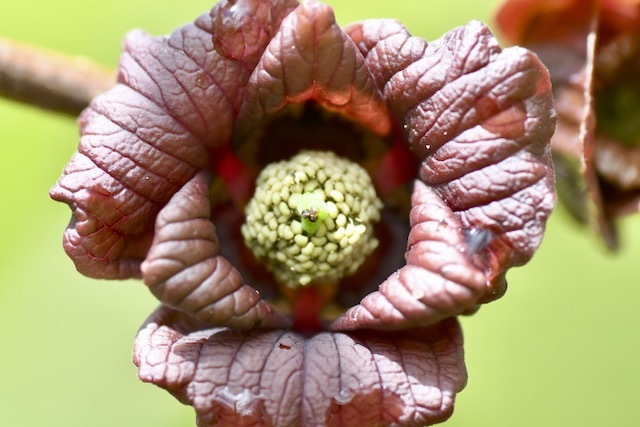 奇妙な形のポポーの花、