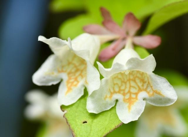 恵那山麓ではツクバネウツギが一斉に咲き始めました。