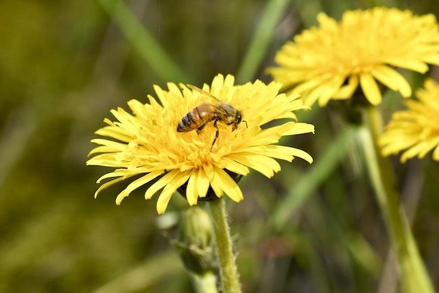 西洋タンポポとミツバチ