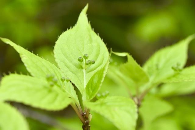 花筏は葉の中央に小さな花をつけます、別名が嫁の涙。