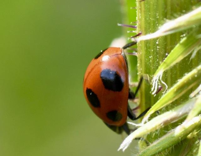 ナナホシテントウは野菜につくアブラムシの天敵で益虫