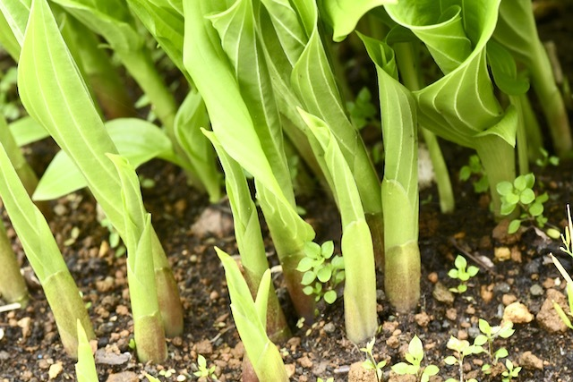 オオバギボウシ の若芽は山菜の珍味「うるい」