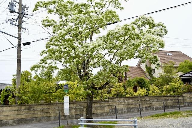 北恵那バス川上(かおれ)線八幡神社バス停のナンジャモンジャがもうすぐ満開。