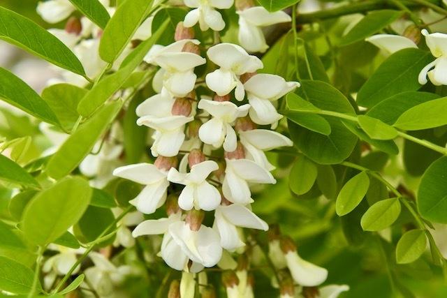 ニセアカシアの花満開
