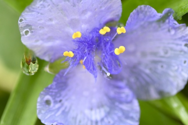 雨に溶けて透ける花びらに、癒されます。