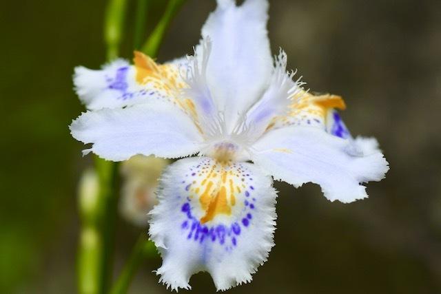シャガの花、中津川市川上ウェストン公園に群生しています。