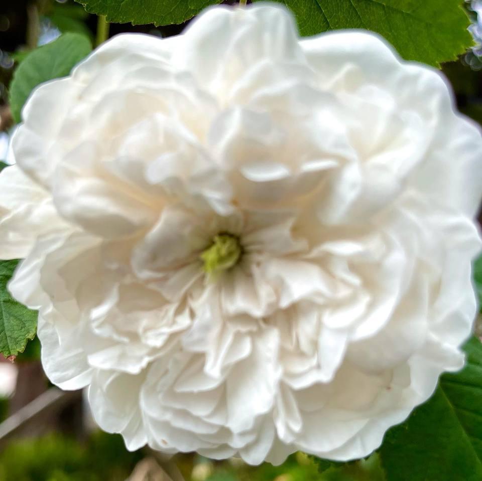 花芯が緑色のバラ、グリーンアイ