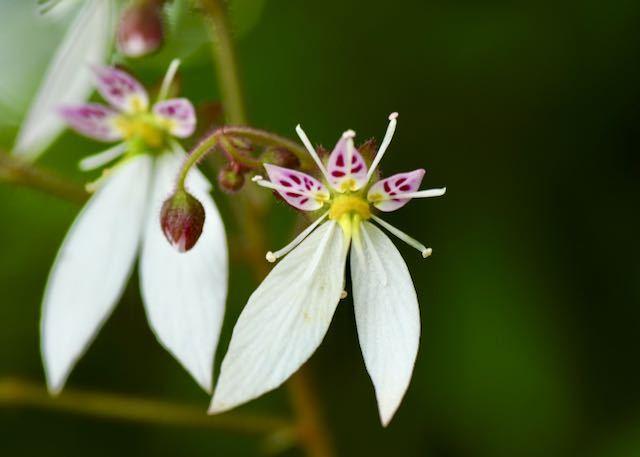 ユキノシタの花をマクロで観たら、