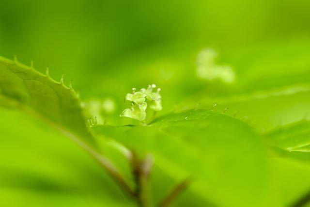 恵那山麓自生のハナイカダ の花が咲いた