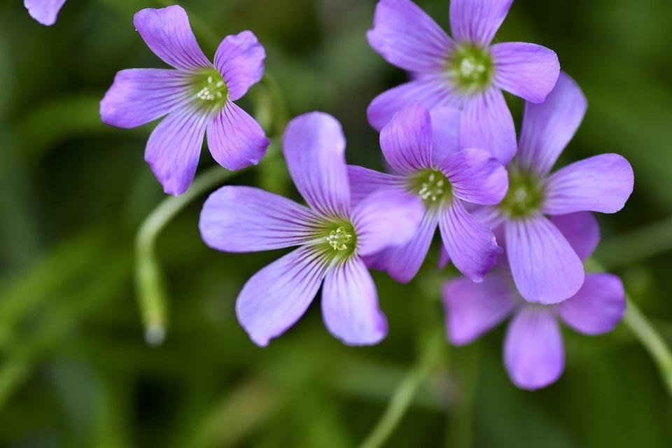 ムラサキカタバミはイモカタバミより優しい薄紫です。