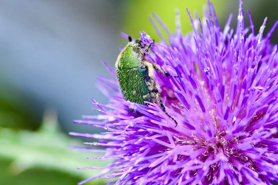 ノアザミには色んな虫が。
