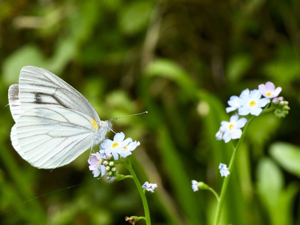 ワスレナグサで吸蜜中のスジグロチョウ