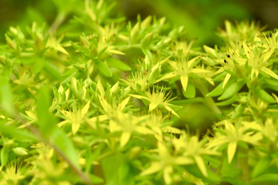 ツルマンネングサの黄色花