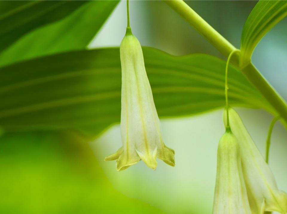 オオアマドコロの花、