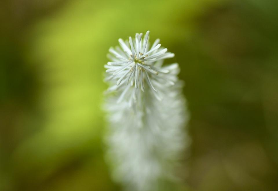 木陰でユラユラ、真っ白いブラシが揺れているのは白糸草 border=
