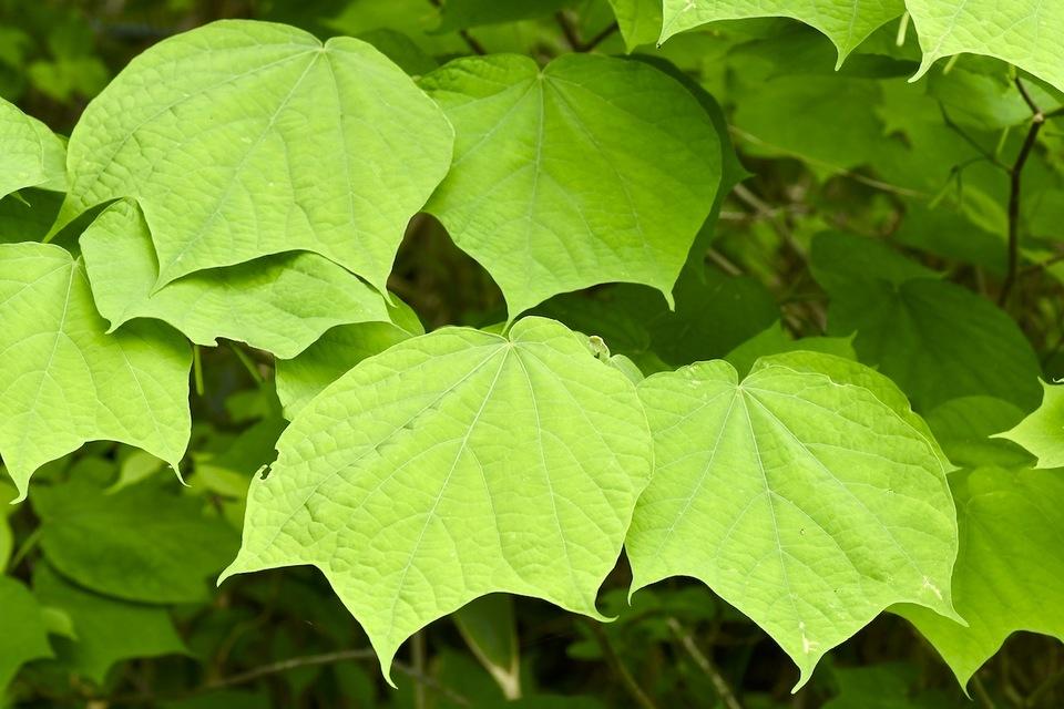 ウリノキの葉とツボミ border=