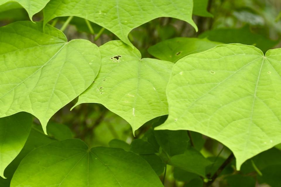 ウリノキの葉とツボミ