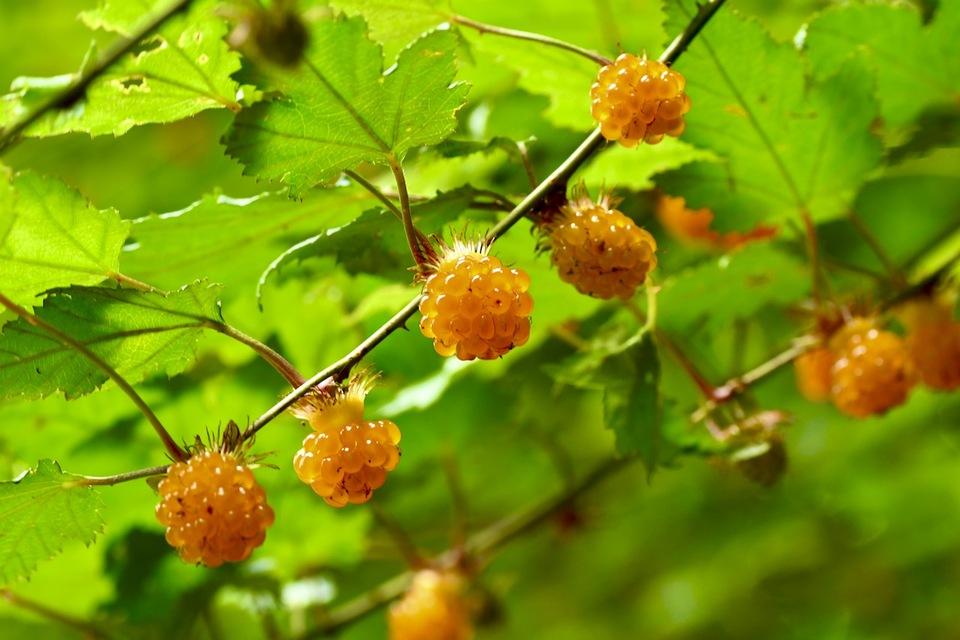 木苺の中ではモミジイチゴが一番美味しい、