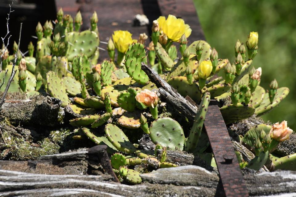 旧北恵那鉄道下野鉄橋枕木に咲くのサボテン