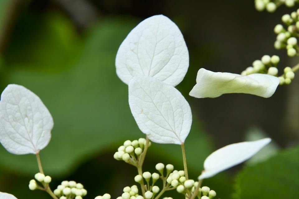 イワガラミの飾り花は真っ白 border=