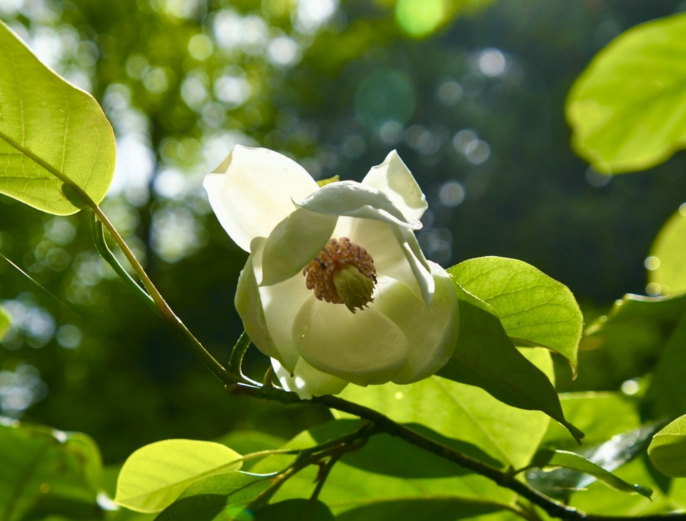 森の貴婦人、オオヤマレンゲ咲き始めました。 border=