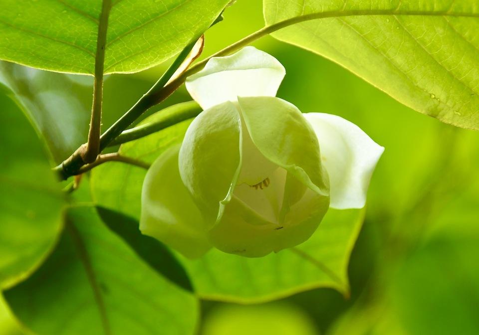 森の貴婦人、オオヤマレンゲ咲き始めました。