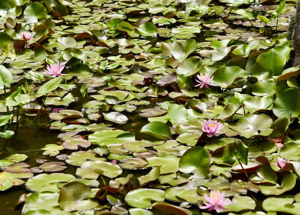古池や蓮子と河骨咲き始め