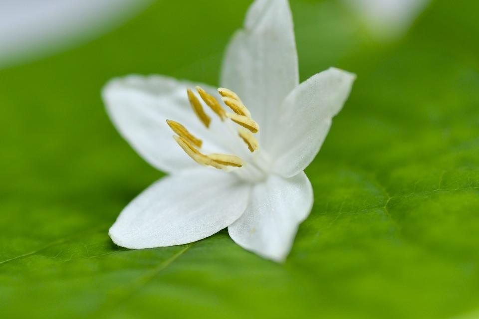 ハクウンボク(白雲木)が咲きだした、富士見台林道。 border=