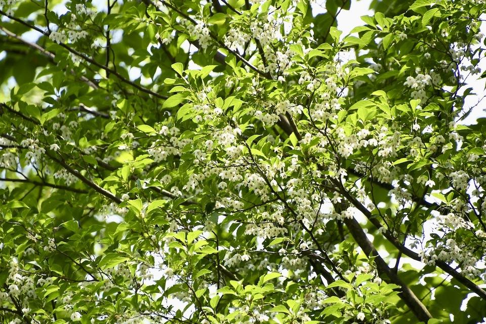 ハクウンボク(白雲木)が咲きだした、富士見台林道。