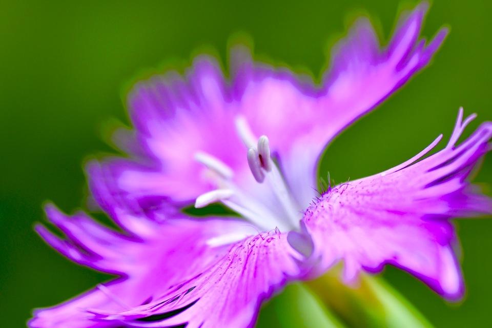 カワラナデシコは漢字で河原撫子、秋の七草。