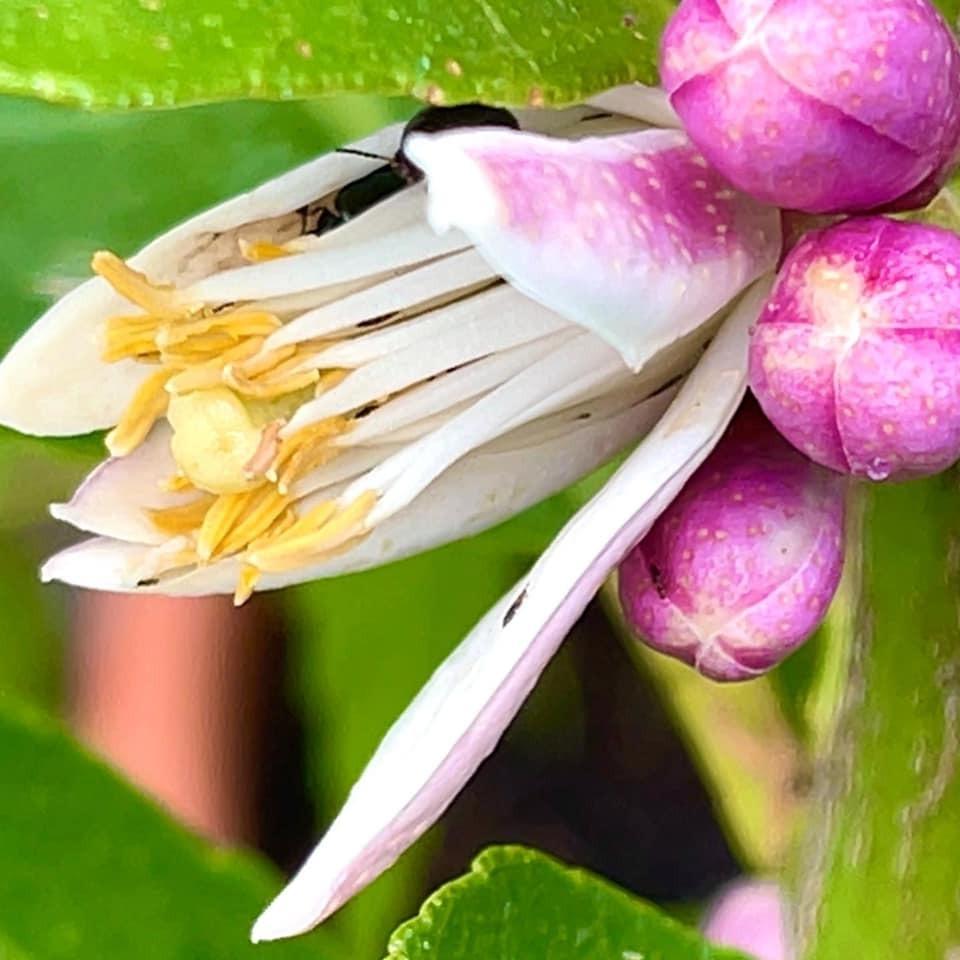 庭のレモンの花、レモンは漢字で檸檬。 border=