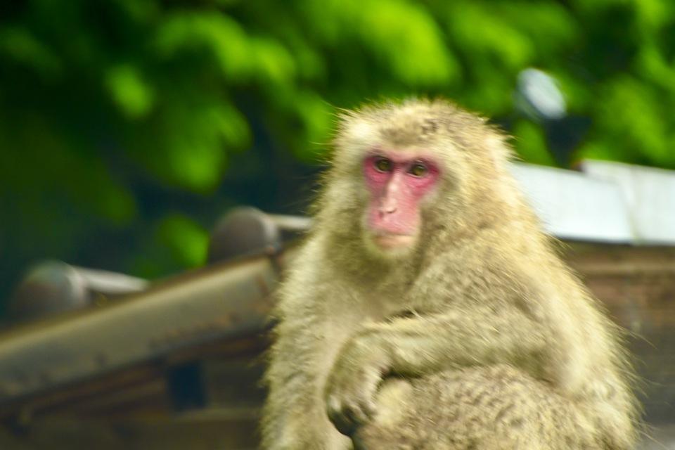 雨の中、お猿の親子は屋根の上。 border=