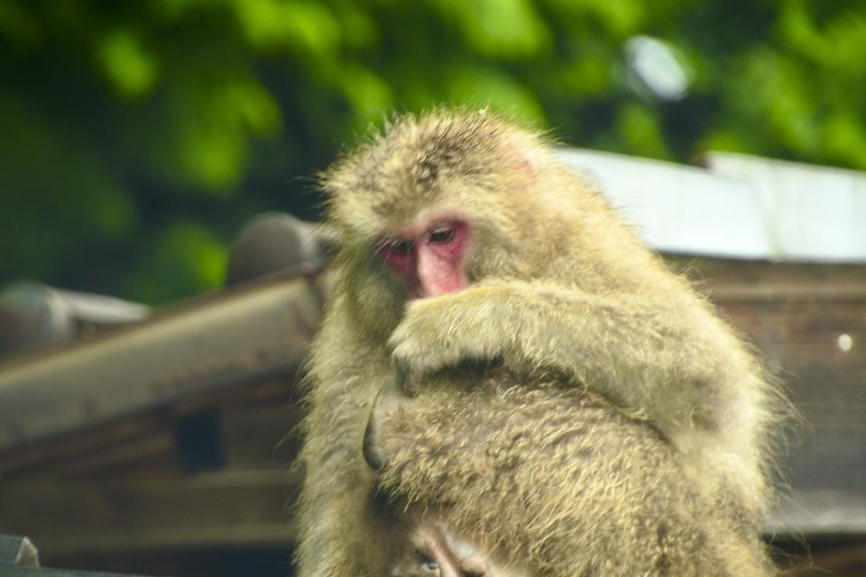 雨の中、お猿の親子は屋根の上。