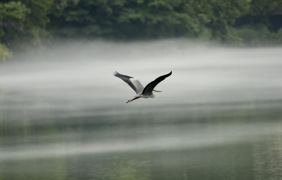 川霧とアオサギ、落合峡の川霧を飛ぶアオサギ。